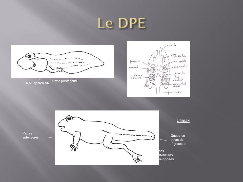 Le DPE Climax spiracle Patte postérieure Repli operculaire