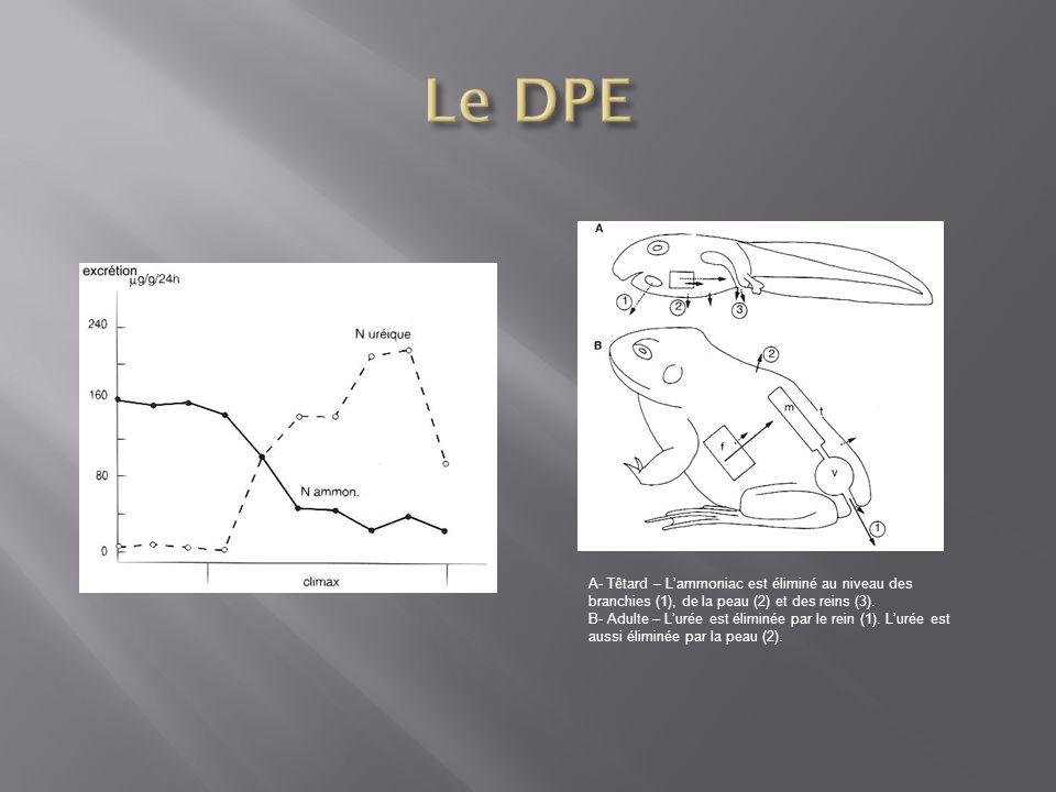 Le DPE A- Têtard – L'ammoniac est éliminé au niveau des branchies (1), de la peau (2) et des reins (3).