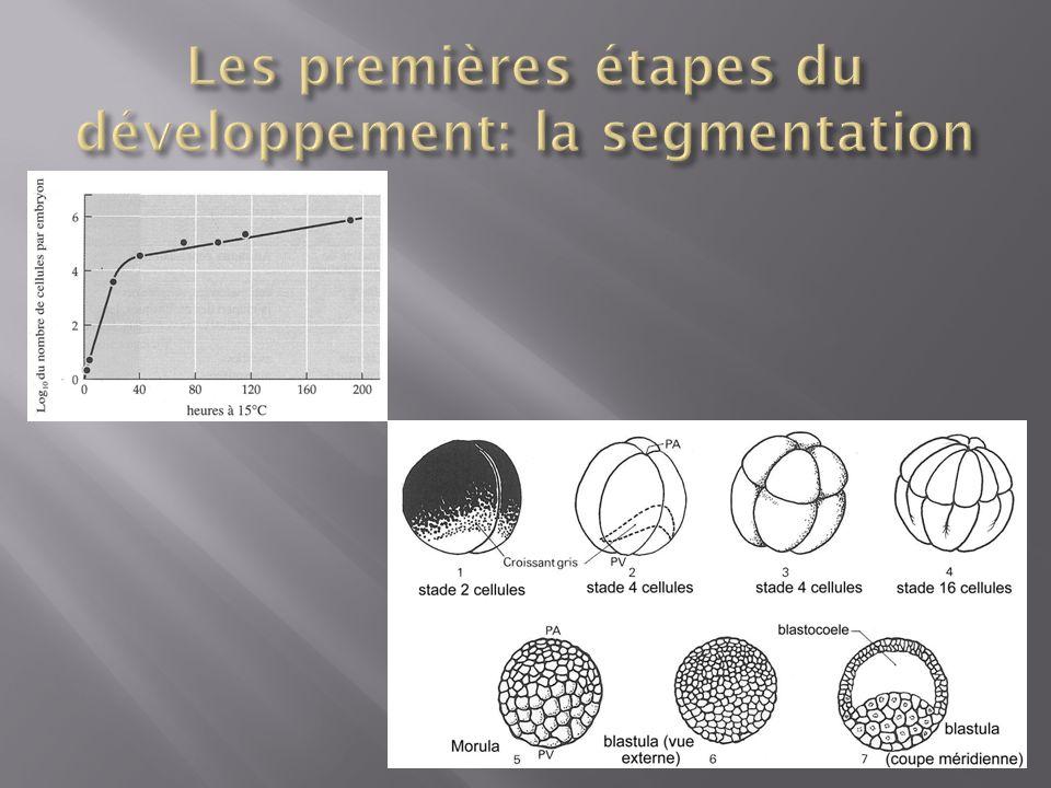 Les premières étapes du développement: la segmentation