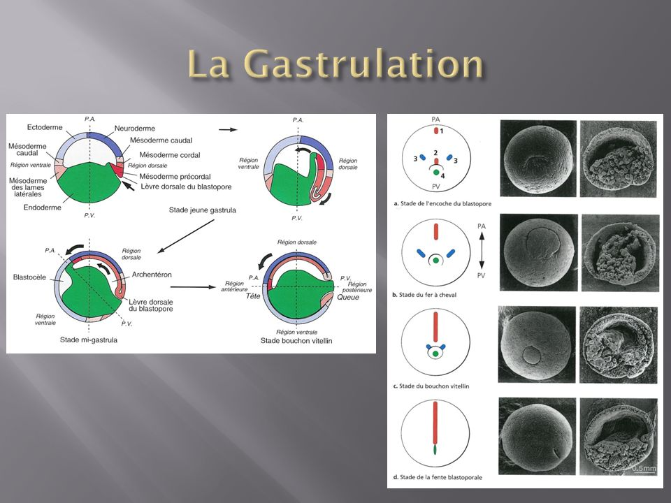 La Gastrulation