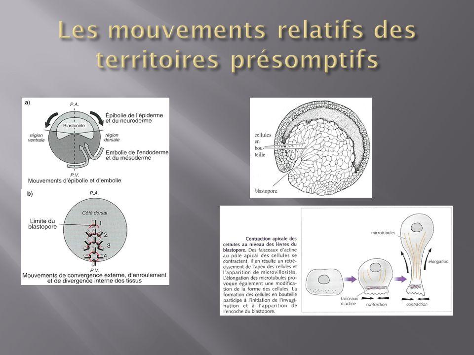 Les mouvements relatifs des territoires présomptifs