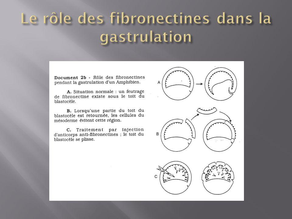 Le rôle des fibronectines dans la gastrulation