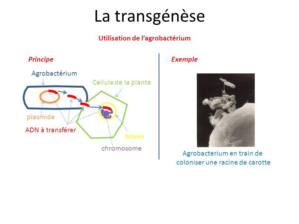 La transgénèse Utilisation de l'agrobactérium Principe Exemple