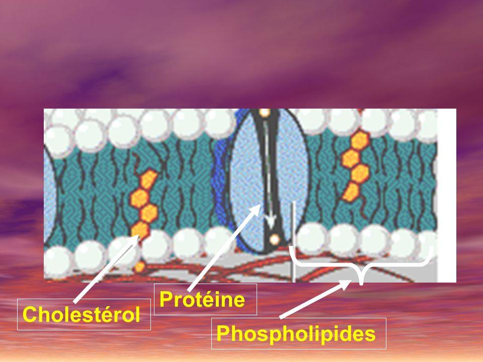 Protéine Cholestérol Phospholipides