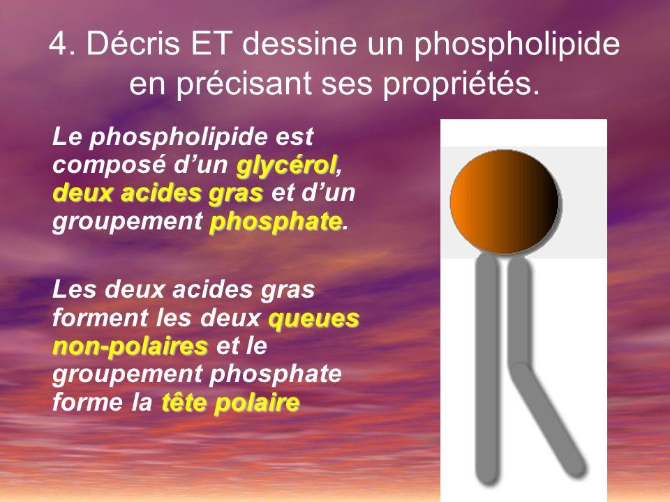 4. Décris ET dessine un phospholipide en précisant ses propriétés.