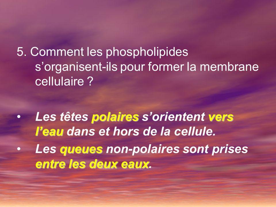 5. Comment les phospholipides s'organisent-ils pour former la membrane cellulaire