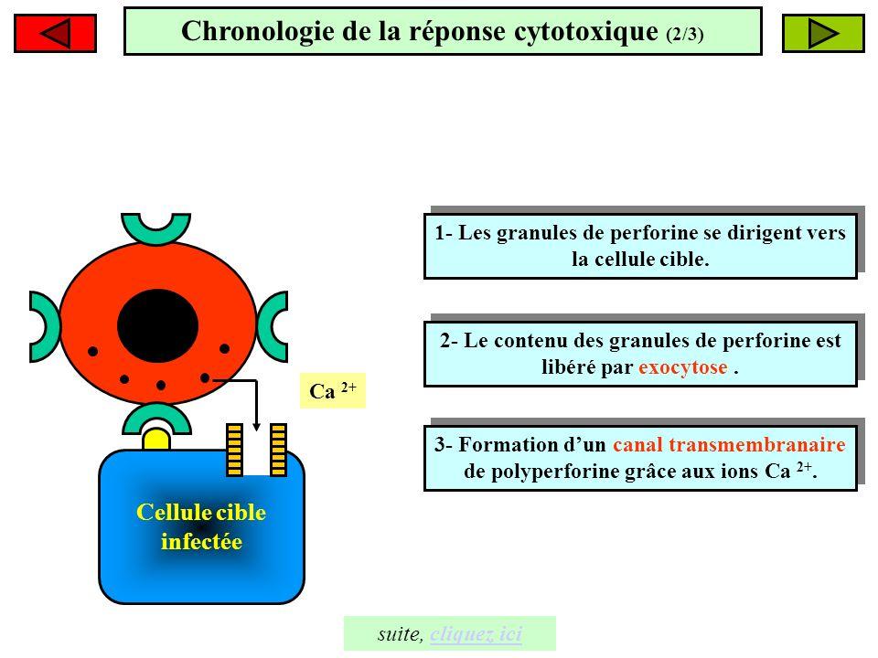 Chronologie de la réponse cytotoxique (2/3)