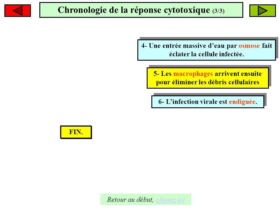 Chronologie de la réponse cytotoxique (3/3)