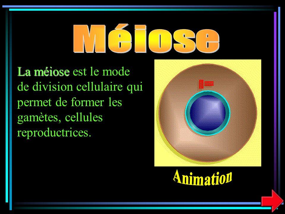 Méiose La méiose est le mode de division cellulaire qui permet de former les gamètes, cellules reproductrices.