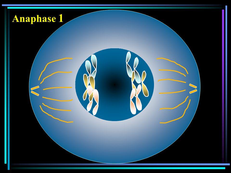 Anaphase 1