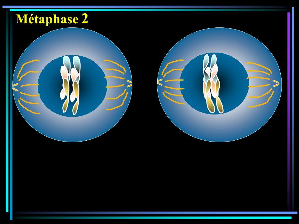 Métaphase 2