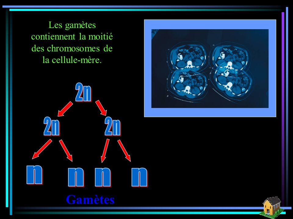 Les gamètes contiennent la moitié des chromosomes de la cellule-mère.