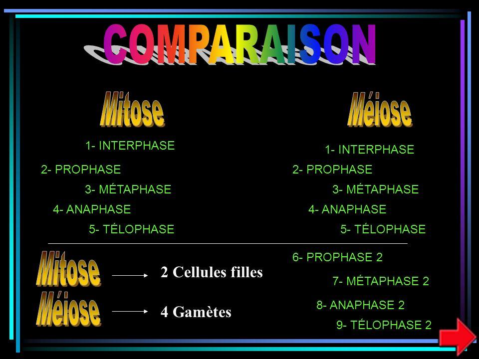 COMPARAISON Mitose Méiose Mitose Méiose