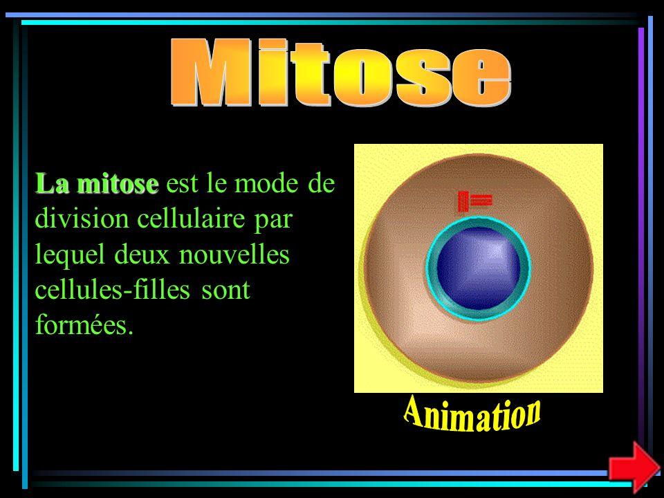 Mitose La mitose est le mode de division cellulaire par lequel deux nouvelles cellules-filles sont formées.