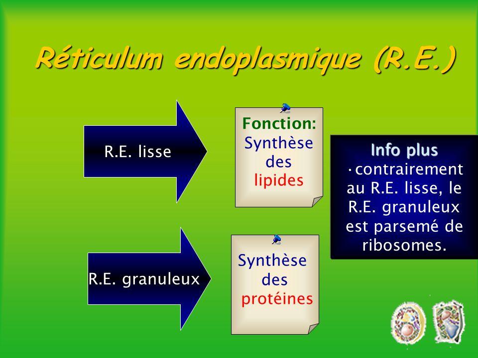 Réticulum endoplasmique (R.E.)