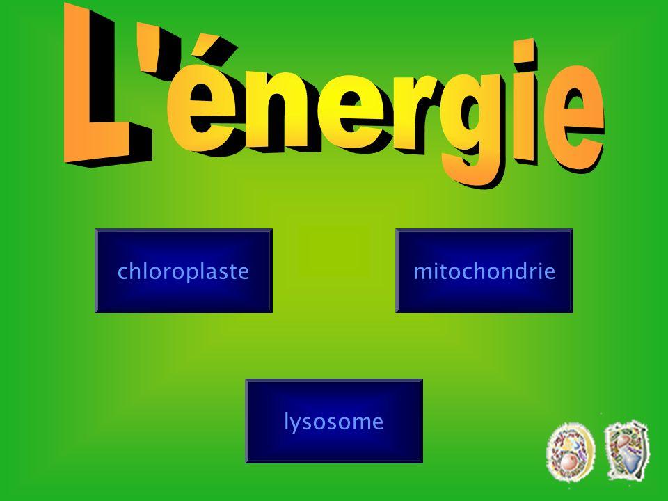 L énergie chloroplaste mitochondrie lysosome