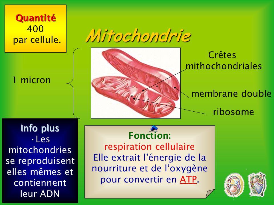 Mitochondrie Quantité 400 par cellule. Crêtes mithochondriales