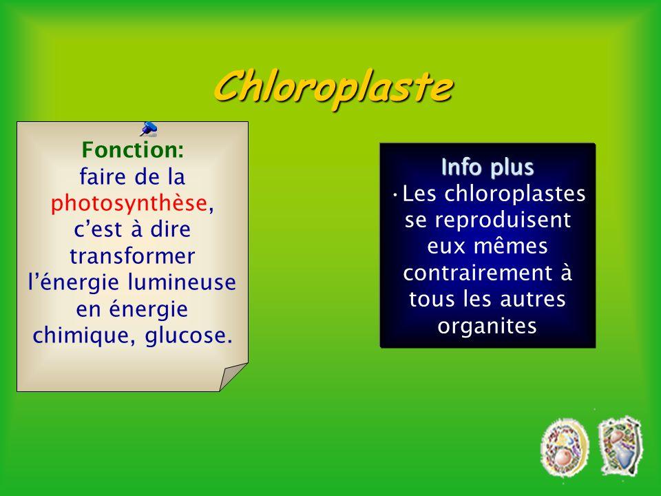 Chloroplaste Fonction: