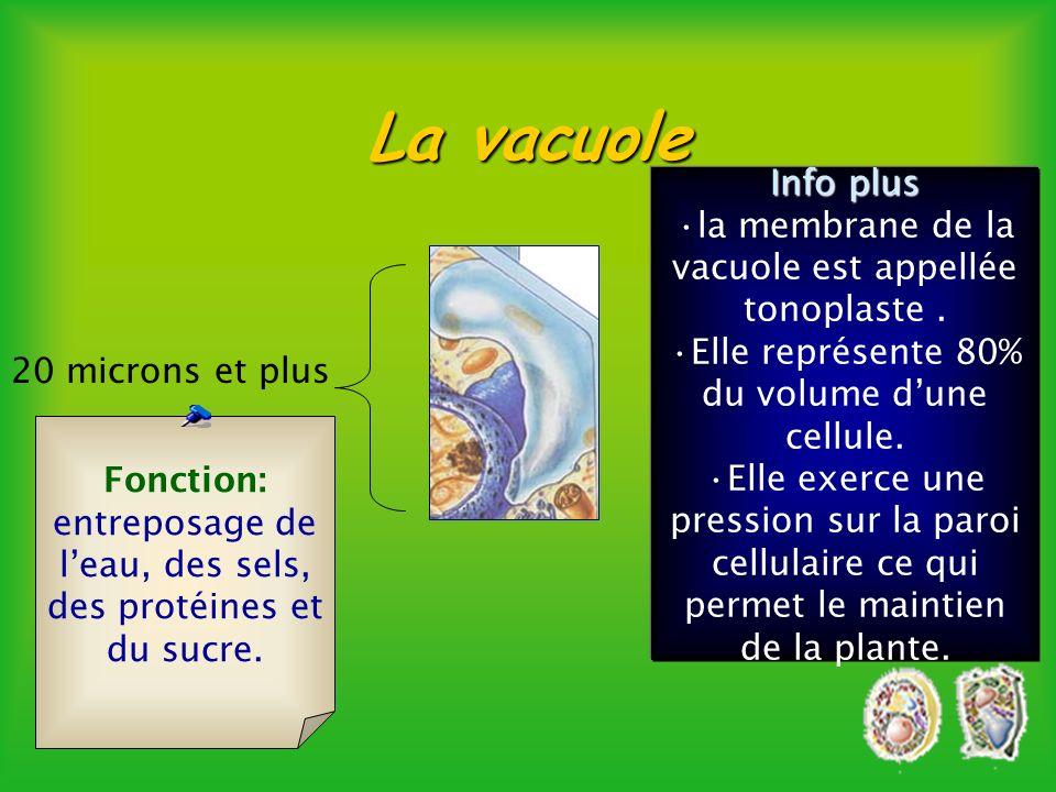 La vacuole Info plus. la membrane de la vacuole est appellée tonoplaste . Elle représente 80% du volume d'une cellule.