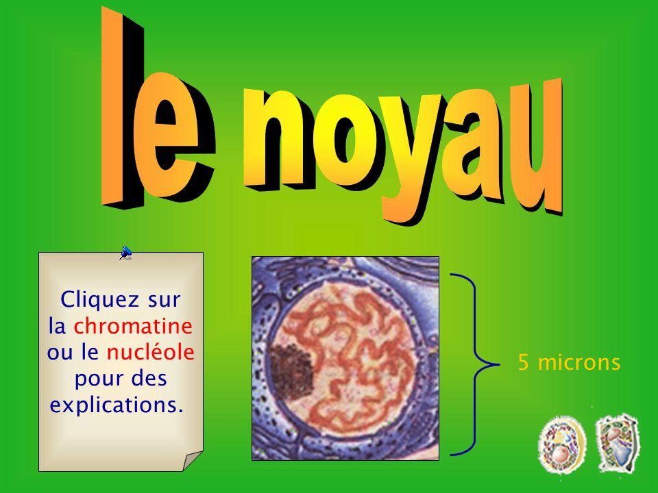 le noyau Cliquez sur la chromatine ou le nucléole pour des
