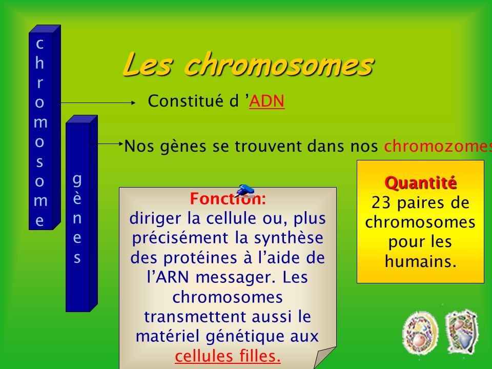 23 paires de chromosomes pour les humains.