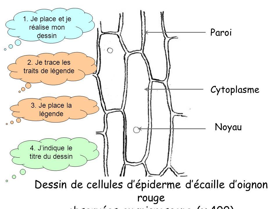 Dessin de cellules d'épiderme d'écaille d'oignon rouge