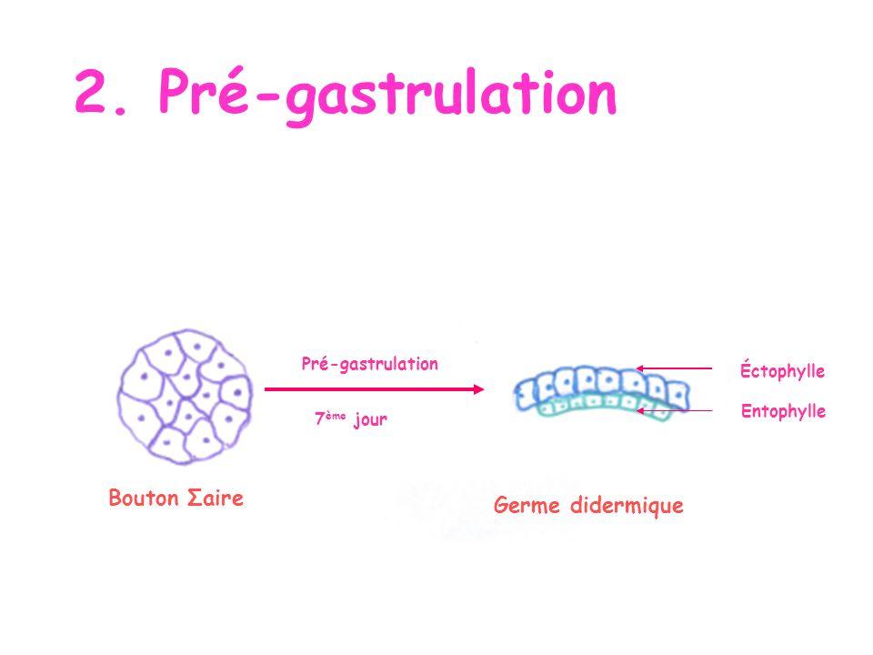 2. Pré-gastrulation Bouton Σaire Germe didermique Pré-gastrulation
