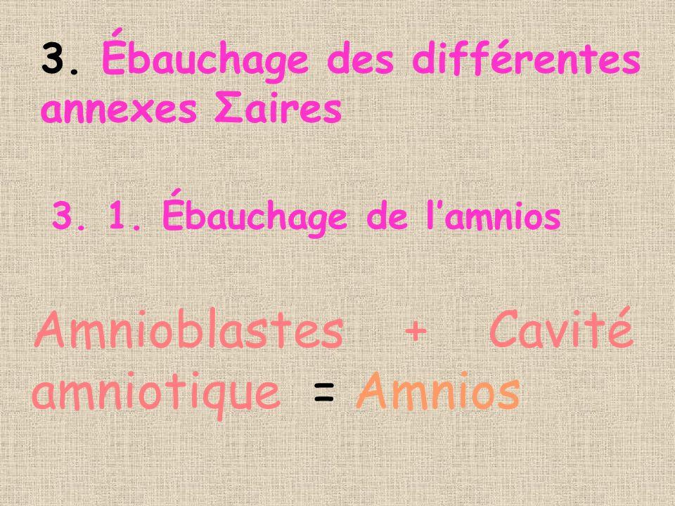 Amnioblastes + Cavité amniotique = Amnios