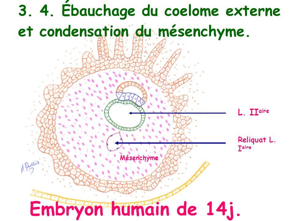 3. 4. Ébauchage du coelome externe et condensation du mésenchyme.