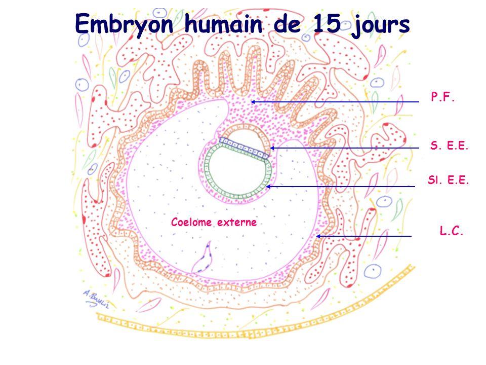 Embryon humain de 15 jours