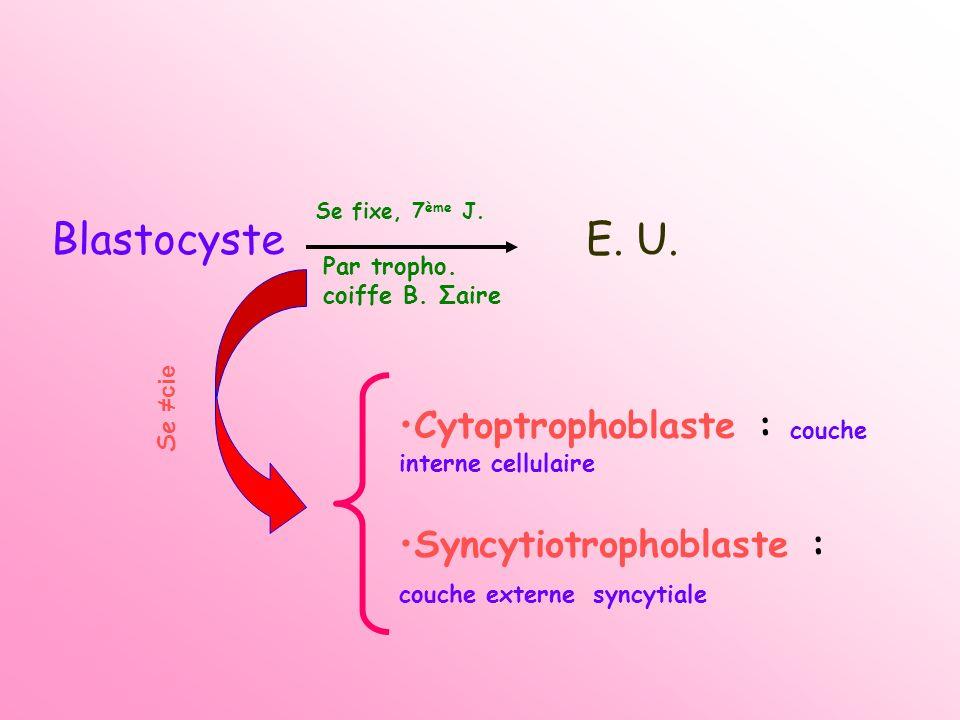 Blastocyste E. U. Cytoptrophoblaste : couche interne cellulaire