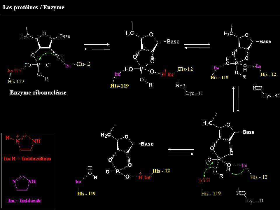 Les protéines / Enzyme Enzyme ribonucléase