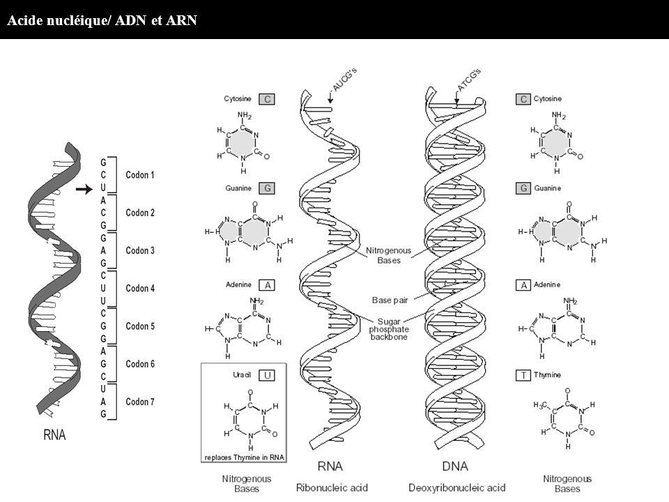 Acide nucléique/ ADN et ARN