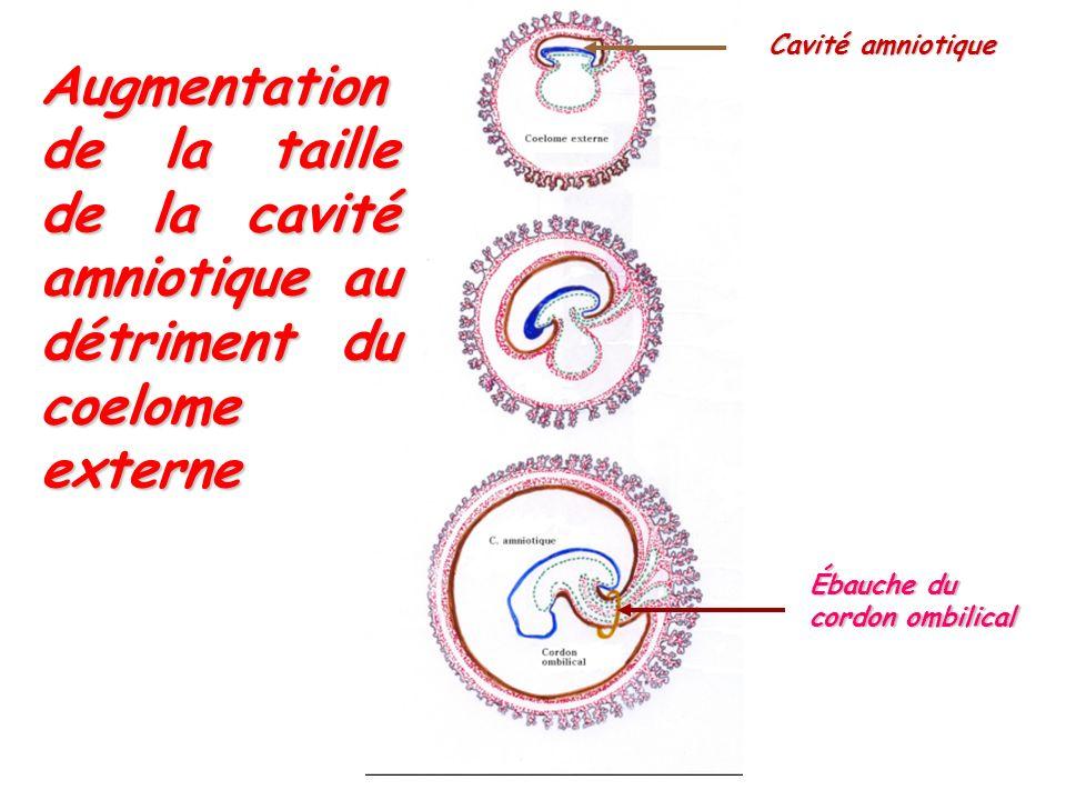 Cavité amniotique Augmentation de la taille de la cavité amniotique au détriment du coelome externe.