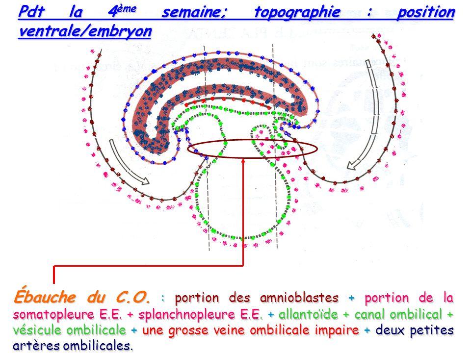 Pdt la 4ème semaine; topographie : position ventrale/embryon