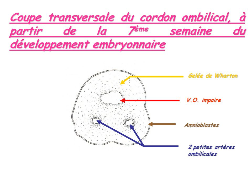 Coupe transversale du cordon ombilical, à partir de la 7ème semaine du développement embryonnaire