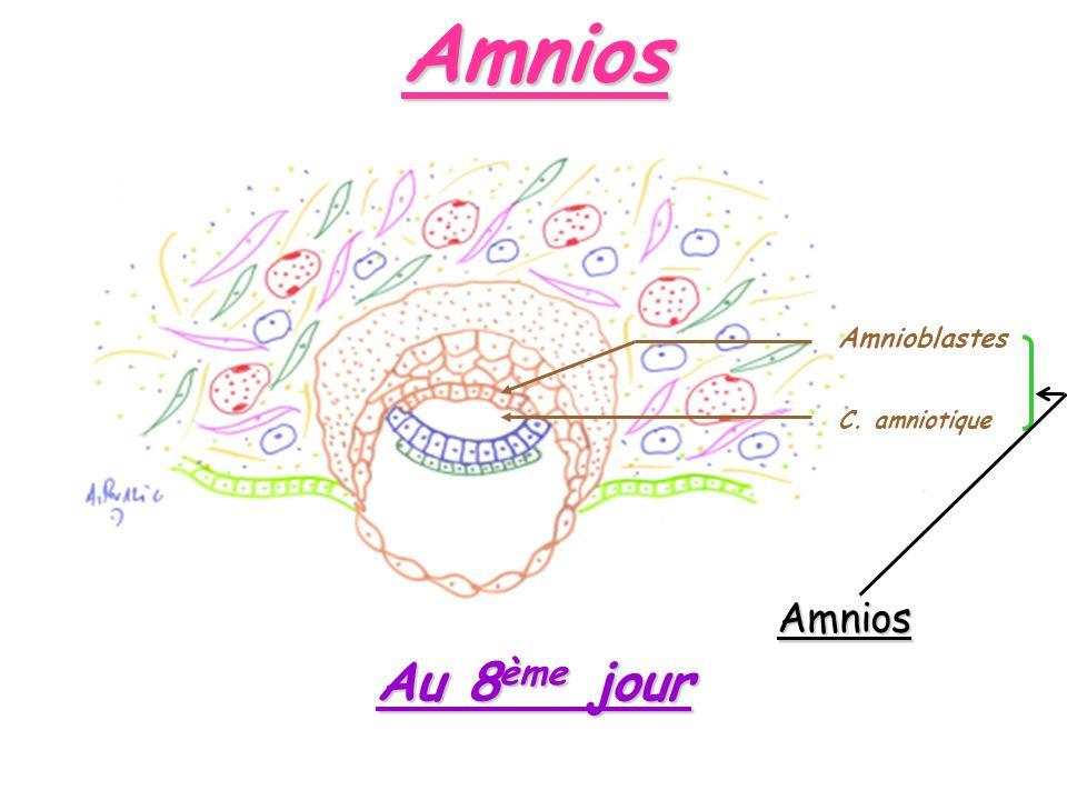 Amnios Amnioblastes C. amniotique Amnios Au 8ème jour