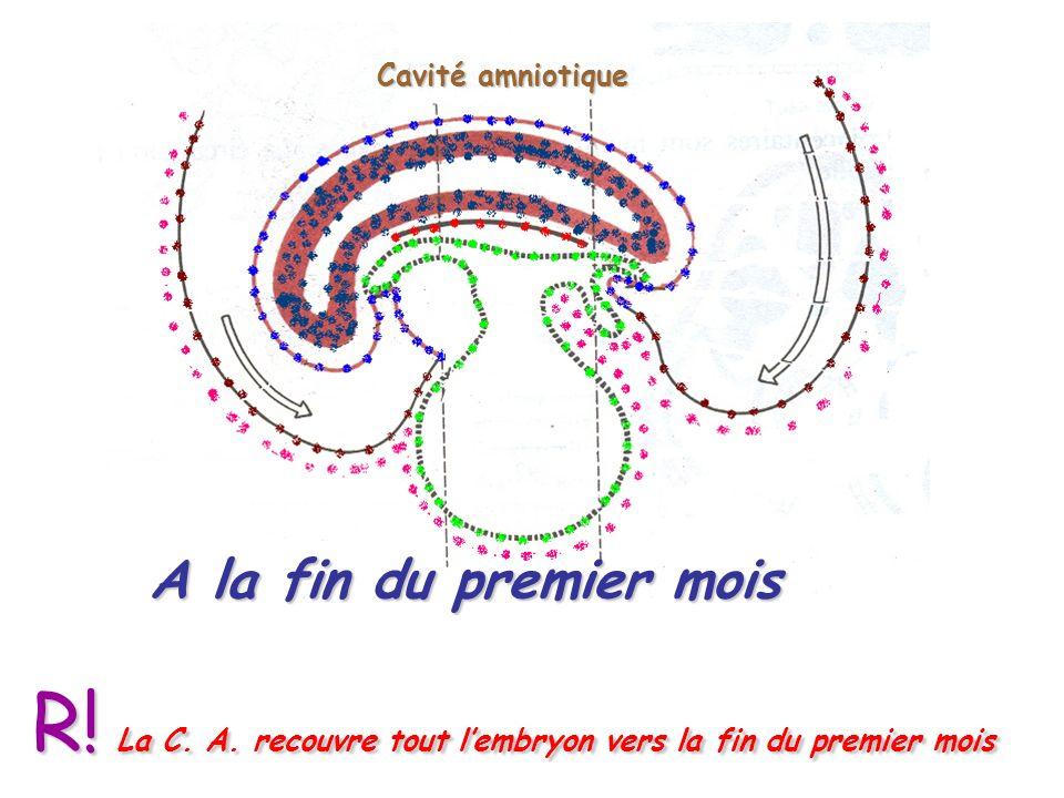 R! La C. A. recouvre tout l'embryon vers la fin du premier mois
