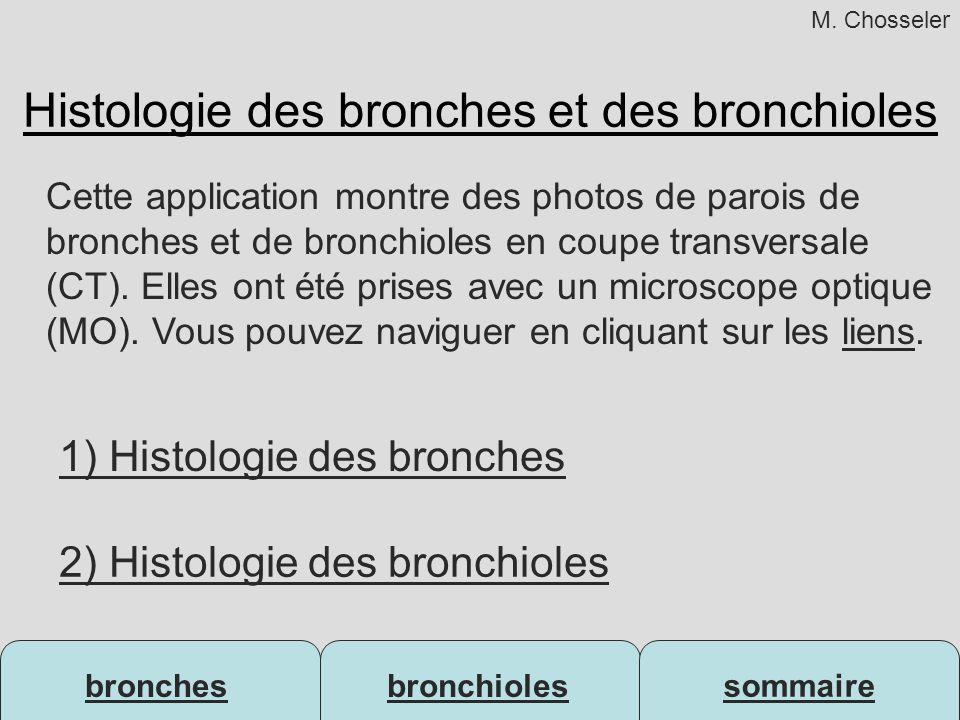 Histologie des bronches et des bronchioles