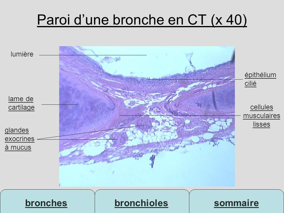 Paroi d'une bronche en CT (x 40)