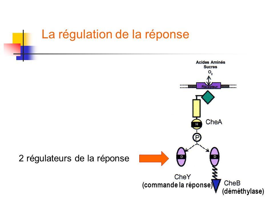 La régulation de la réponse