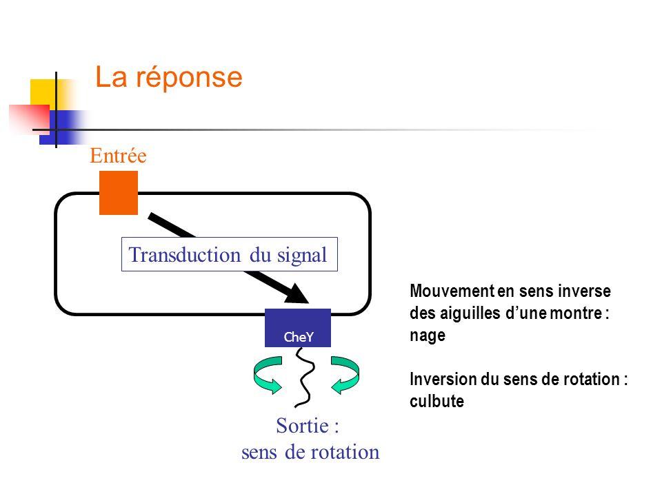 La réponse Entrée Transduction du signal Sortie : sens de rotation