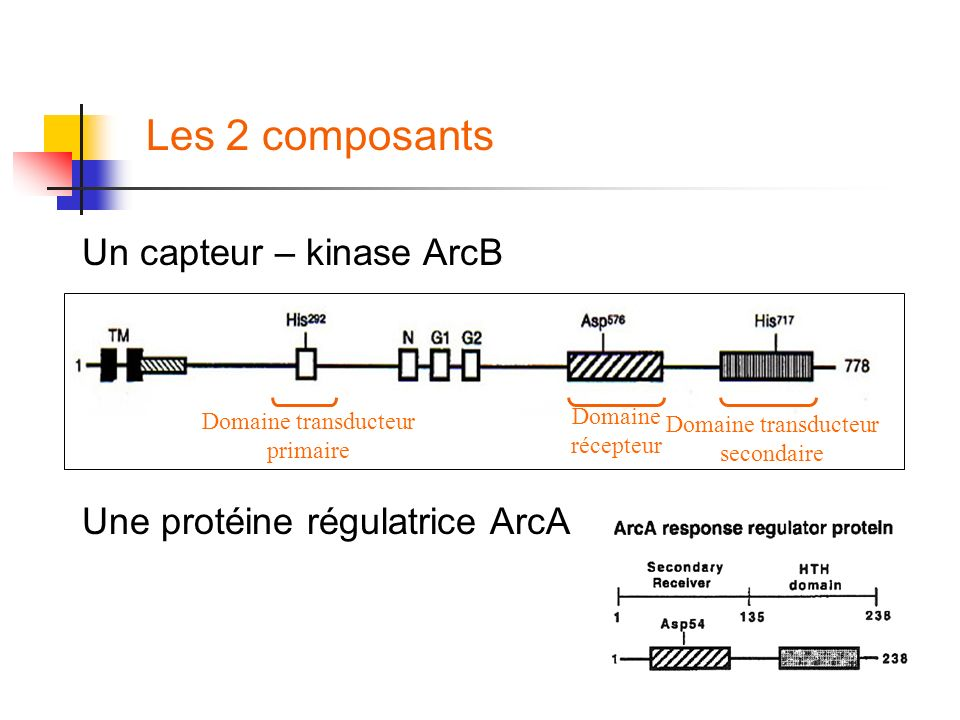Les 2 composants Un capteur – kinase ArcB