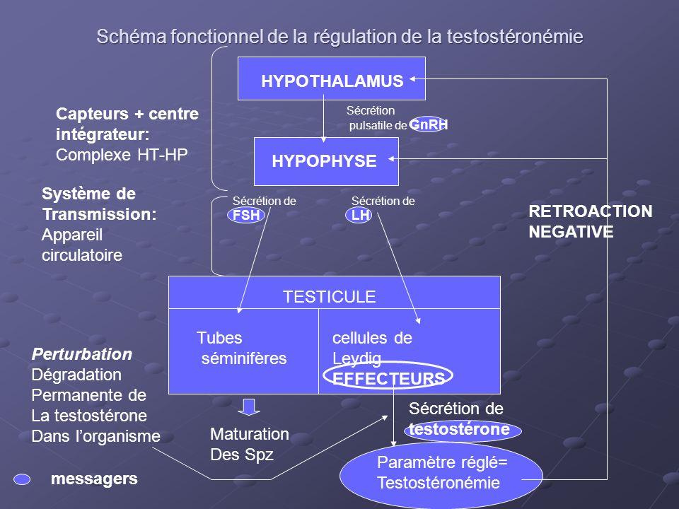 Schéma fonctionnel de la régulation de la testostéronémie