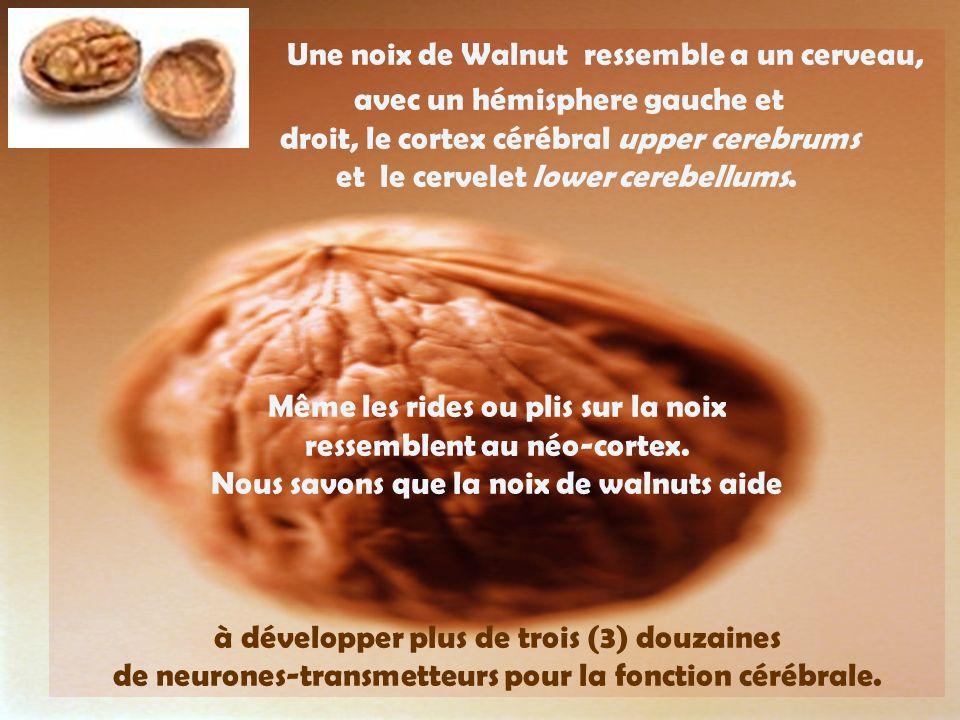Une noix de Walnut ressemble a un cerveau, avec un hémisphere gauche et droit, le cortex cérébral upper cerebrums et le cervelet lower cerebellums.