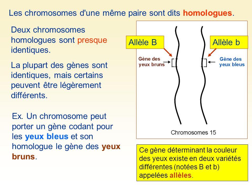 Les chromosomes d une même paire sont dits homologues.