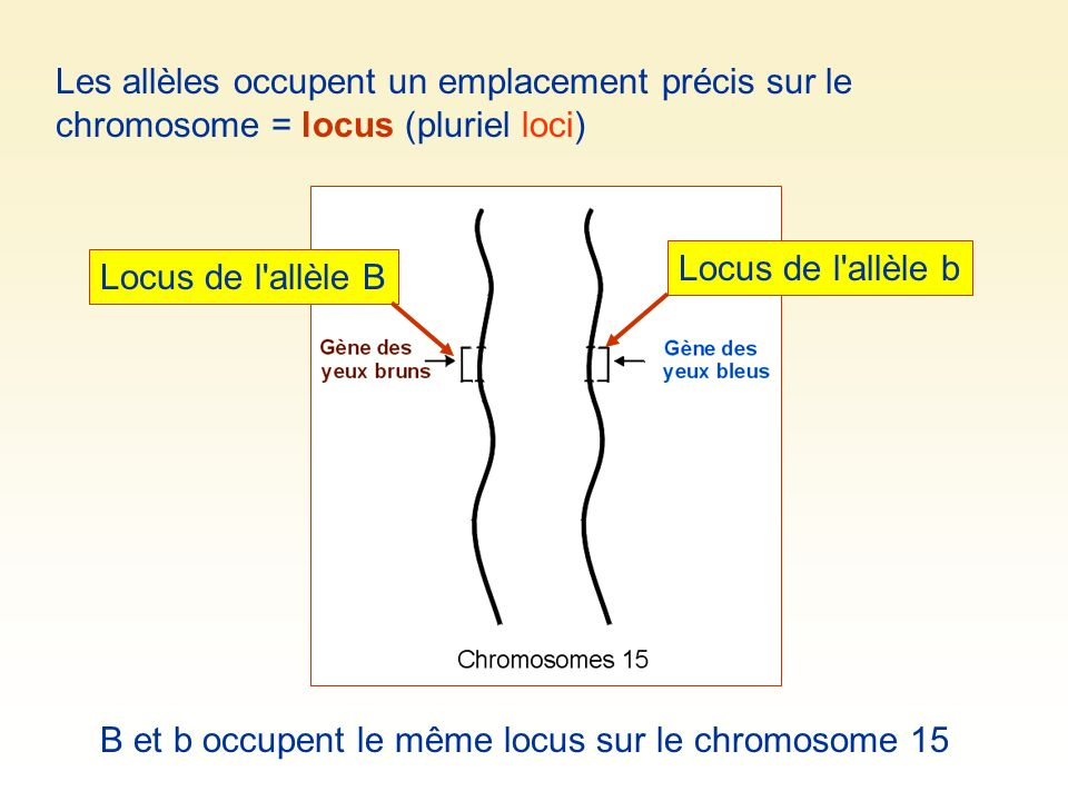 Les allèles occupent un emplacement précis sur le chromosome = locus (pluriel loci)