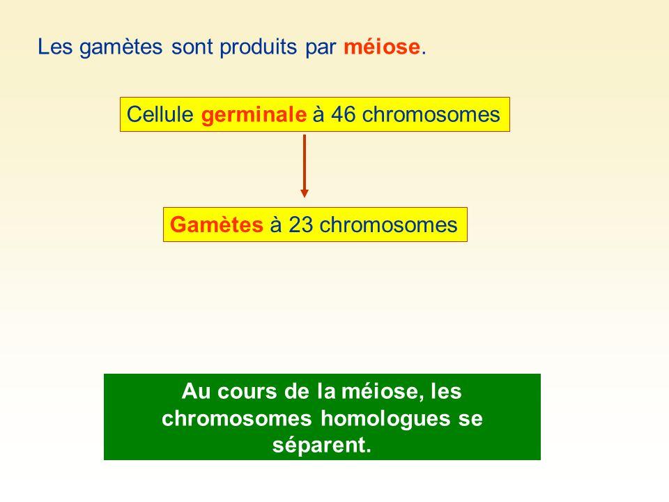 Au cours de la méiose, les chromosomes homologues se séparent.