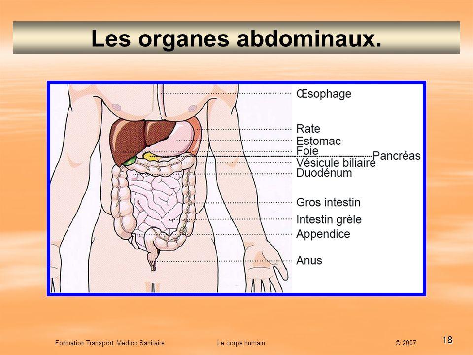 Les organes abdominaux.