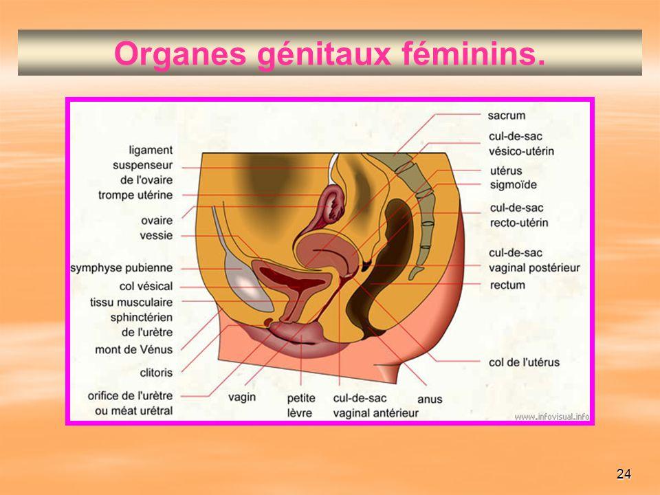 Organes génitaux féminins.